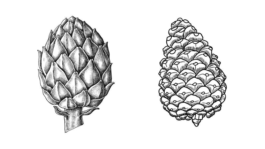 a drawing of a pinecone and an artichoke